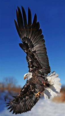 iphone 6s wallpaper hd eagle eagle wallpapers images photos pictures backgrounds