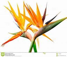 fiore uccelli paradiso uccello paradiso immagine stock immagine di bellezza
