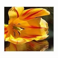 Lazar Design Discount Code Tulip Reflections Photograph By Andrea Lazar