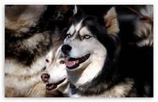 husky iphone wallpaper husky dogs 4k hd desktop wallpaper for 4k ultra hd tv