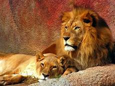 Lion And Lioness Designs Lioness Wallpapers Wallpaper Cave