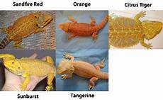 Bearded Dragon Color Chart New To This Bearded Dragon Org