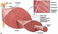 Skeletal Muscle Structure Informational Diagram Of Skeletal Muscle Human Anatomy