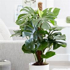 Monstera Deliciosa Light Buy Swiss Cheese Plant Monstera Deliciosa Delivery By