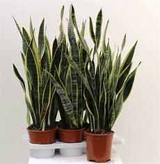 piante verdi da interno foto sansevieria laurentii diam 17 indoor green plants