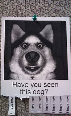 Lost Dog Poster Maker Attention Grabbing Lost Dog Posters This Is How It S Done