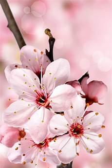 iphone wallpaper hd cherry blossom cherry blossoms iphone wallpaper hd