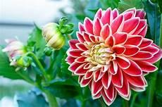 mandare dei fiori linguaggio dei fiori la dalia