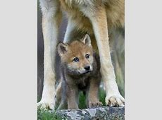 36 best images about My favorite animal WOLFS on Pinterest