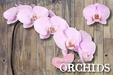Light Pink Phalaenopsis Orchid Light Pink Phalaenopsis Butterfly Orchid Flower 10 Stems