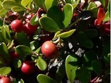 Bear Berry Bearberry Leaf Natural Herbal Remedy Reduces Urinary