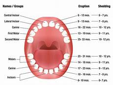 Deciduous Teeth Chart Teeth Eruption Chart For Deciduous And Permanent Teeth