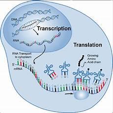 Translation Science Science Transcription Translation From Dna Atgc Code