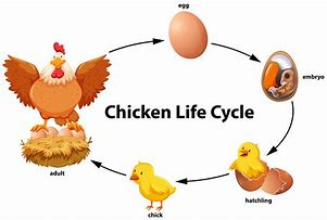 Image result for hen life cycle
