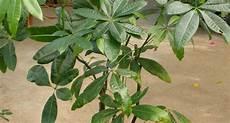 piante verdi da interno foto piante verdi da interno piante appartamento piante da