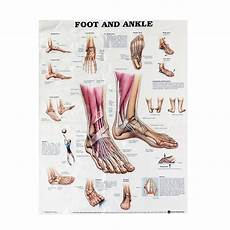 Foot Anatomy Chart Anatomy Of Foot And Ankle Poster Anatomical Chart Human