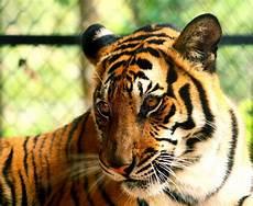 tigre in gabbia tiger profile isolato fondo bianco fotografia stock