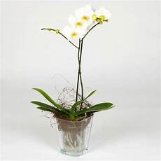 orchidea vaso trasparente vaso per orchidea orchidee vaso adatto alle orchidee
