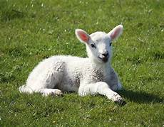 Newborn Lamb 101 Funny And Cute Pictures Of Baby Animals That Are Pin