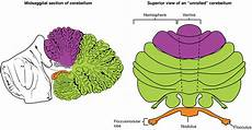 Cerebellum Anatomy Rhombencephalon Anatomy And Function Of The Hindbrain