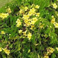 Cats Claws Plant Common Cat S Claw Vine Yellow Trumpet Vine Macfadyena