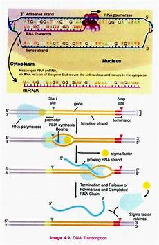 Transcription Biology Dna Transcription 3 Main Steps Of Dna Transcription