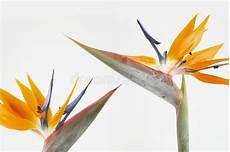 fiore uccelli paradiso due uccelli paradiso immagine stock immagine di