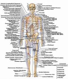 Full Body Anatomy Chart Names Of All 206 Bones Skeletal System Medical