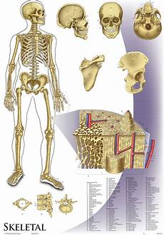 Oversize Skeletal System Wall Chart 36 Quot X 44 Quot