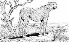 free cheetah coloring pages