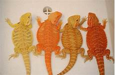 Bearded Dragon Color Chart Bearded Dragons Yes These Are Actual Colors Amp They Are