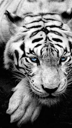 black and white tiger iphone wallpaper 42 tiger iphone wallpaper on wallpapersafari