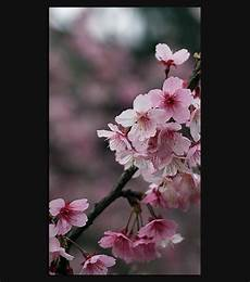 iphone wallpaper hd cherry blossom cherry blossom hd wallpaper for your iphone 6 spliffmobile