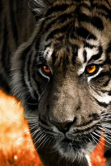 black and white tiger iphone wallpaper the spotted canvas orange tiger background