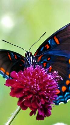 Butterfly Wallpaper For Iphone 6 Plus by Monarch Butterfly Wallpaper 64 Pictures