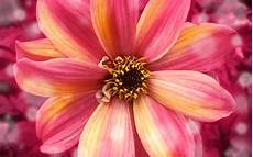 Flower Wallpaper Pictures by Amazing Flower Wallpapers Hd Wallpapers Id 12631