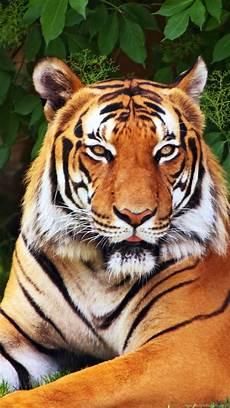 tiger wallpaper iphone 7 iphone 6s plus animal tiger wallpapers id 583608 desktop