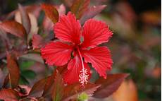 flower images hd wallpaper wallpaper hibiscus flowers wallpapers