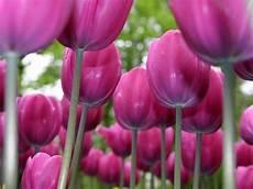tulipani fiori fiori tulipano fiori di piante