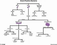 Gram Positive And Gram Negative Chart Gram Positive Bacteria Microbiology Medbullets Step 1