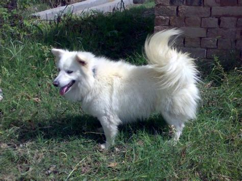 russian dogs russian dogs for sale in pakistan breeds picture