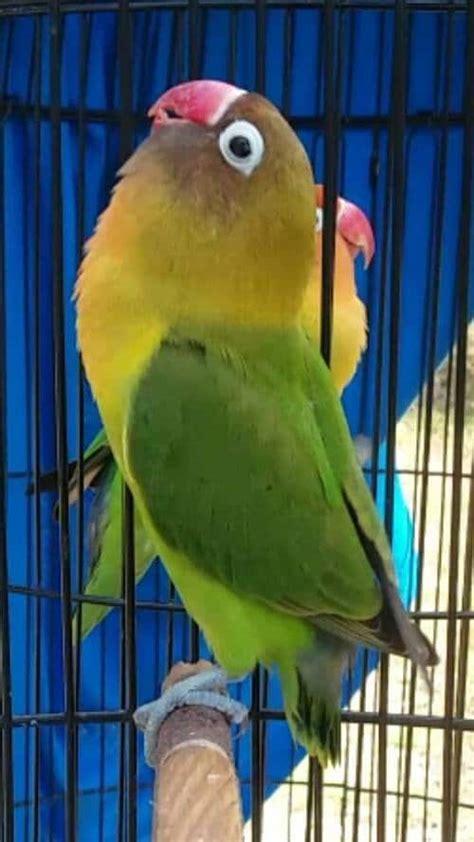 download mp3 lovebird suara lovebird ngetik panjang pancingan ngekek mp3