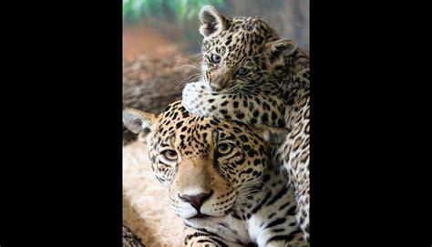imagenes del jaguar con sus crias 15 enternecedoras im 225 genes de mam 225 s con sus cachorros fotos