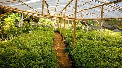 Jual Bibit Cengkeh Di Makassar jual bibit cengkeh di minahasa jual bibit tanaman unggul