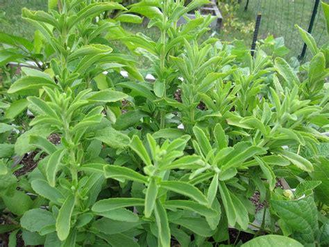 Plante De Stevia by How To Organic Stevia And Liquid Stevia