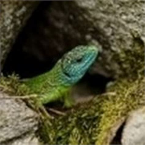 sognare lucertole in casa iguana verde lucertole