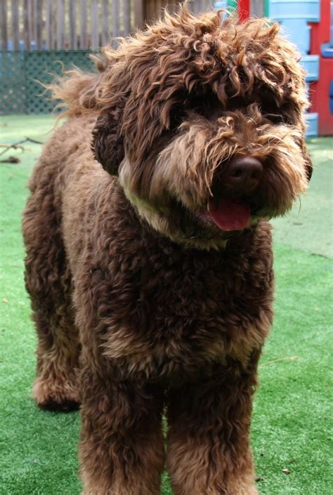 chocolate doodle indiana 28 best labradoodle images on