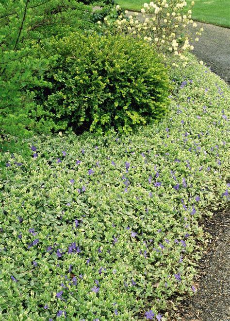 efeu schnell wachsende sorte bodendecker pflanzen ideen f 252 r schnellwachsende sorten
