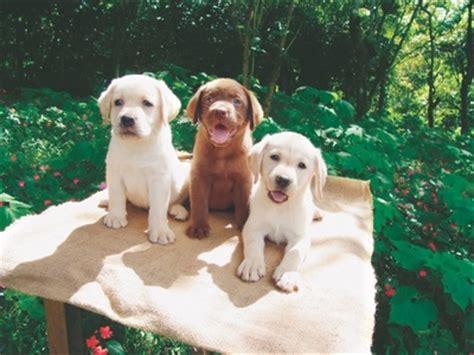 mini lab puppies miniature labrador and labrador dwarfism
