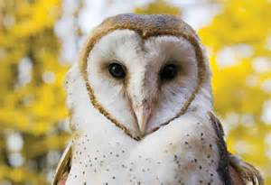 barn owl facts enciclopedia animal animales bosque lechuza 250 n